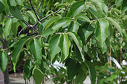 Common Persimmon (Diospyros virginiana) at Alsip Home and Nursery