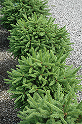 Tolleymore Norway Spruce (Picea abies 'Tolleymore') at Alsip Home and Nursery