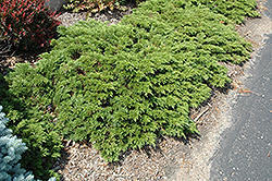 Mini Arcade Juniper (Juniperus sabina 'Mini-Arcade') at Alsip Home and Nursery