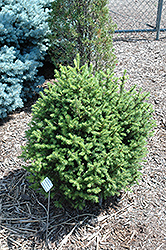 Sherwood Compact Norway Spruce (Picea abies 'Sherwood Compact') at Alsip Home and Nursery