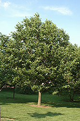 Sugarberry (Celtis laevigata) at Alsip Home and Nursery