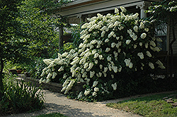Snowflake Hydrangea (Hydrangea quercifolia 'Snowflake') at Alsip Home and Nursery