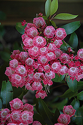 Pink Charm Mountain Laurel (Kalmia latifolia 'Pink Charm') at Alsip Home and Nursery