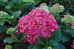 Forever And Ever Red Hydrangea (Hydrangea macrophylla 'Forever And Ever Red') at Alsip Home and Nursery