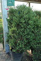 Excelsa Japanese Holly (Ilex crenata 'Excelsa') at Alsip Home and Nursery