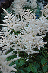 Deutschland Astilbe (Astilbe japonica 'Deutschland') at Alsip Home and Nursery