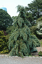 Graceful Grace Weeping Douglas Fir (Pseudotsuga menziesii 'Graceful Grace') at Alsip Home and Nursery