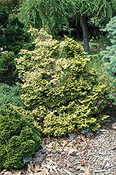 Brian Hinoki Falsecypress (Chamaecyparis obtusa 'Brian') at Alsip Home and Nursery