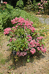 Carol Mountain Laurel (Kalmia latifolia 'Carol') at Alsip Home and Nursery