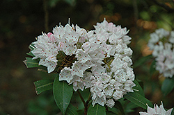 Pink Star Mountain Laurel (Kalmia latifolia 'Pink Star') at Alsip Home and Nursery