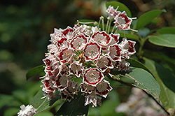 Fuscata Mountain Laurel (Kalmia latifolia 'Fuscata') at Alsip Home and Nursery