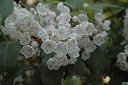 Quinnipiac Mountain Laurel (Kalmia latifolia 'Quinnipiac') at Alsip Home and Nursery