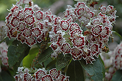 Bullseye Mountain Laurel (Kalmia latifolia 'Bullseye') at Alsip Home and Nursery