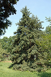 Luiang Spruce (Picea likiangensis) at Alsip Home and Nursery