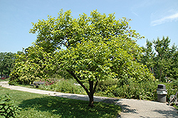 Japanese Persimmon (Diospyros kaki) at Alsip Home and Nursery