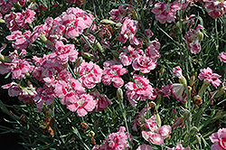 Heart's Desire Pinks (Dianthus 'Heart's Desire') at Alsip Home and Nursery