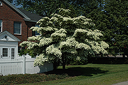 Chinese Dogwood (Cornus kousa) at Alsip Home and Nursery