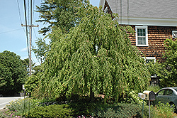 Weeping Katsura Tree (Cercidiphyllum japonicum 'Pendulum') at Alsip Home and Nursery