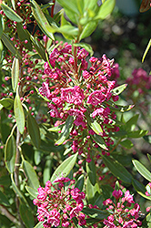 Poke Logan Sheep Laurel (Kalmia angustifolia 'Poke Logan') at Alsip Home and Nursery