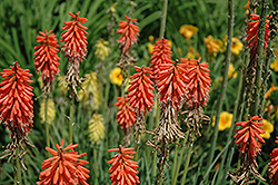 Bressingham Comet Torchlily (Kniphofia 'Bressingham Comet') at Alsip Home and Nursery