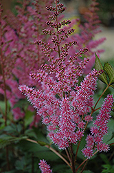 Maggie Daley Astilbe (Astilbe chinensis 'Maggie Daley') at Alsip Home and Nursery