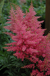 Younique Carmine Astilbe (Astilbe 'Verscarmine') at Alsip Home and Nursery