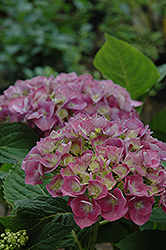 Forever And Ever Blue Heaven Hydrangea (Hydrangea macrophylla 'Forever And Ever Blue Heaven') at Alsip Home and Nursery