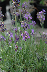 Coconut Ice Lavender (Lavandula angustifolia 'Coconut Ice') at Alsip Home and Nursery
