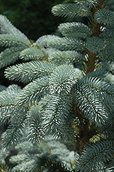 Crystal Blue Spruce (Picea pungens 'Crystal Blue') at Alsip Home and Nursery