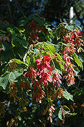 Mountain Maple (Acer spicatum) at Alsip Home and Nursery