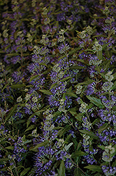 Blue Balloon Caryopteris (Caryopteris x clandonensis 'Korball') at Alsip Home and Nursery