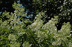 Greenspire Hydrangea (Hydrangea paniculata 'Greenspire') at Alsip Home and Nursery