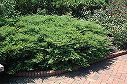 Kallay's Compact Juniper (Juniperus x media 'Kallay's Compact') at Alsip Home and Nursery