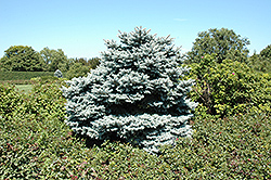 Hunnewelliana Blue Spruce (Picea pungens 'Hunnewelliana') at Alsip Home and Nursery