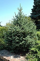 Dragon Spruce (Picea asperata) at Alsip Home and Nursery