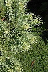 Wolterdingen Japanese Larch (Larix kaempferi 'Wolterdingen') at Alsip Home and Nursery