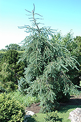 Weeping Will Weeping Douglas Fir (Pseudotsuga menziesii 'Weeping Will') at Alsip Home and Nursery