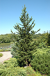 Hillside Upright Spruce (Picea abies 'Hillside Upright') at Alsip Home and Nursery