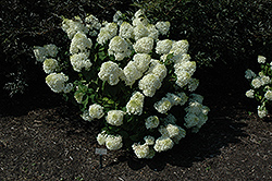 Silver Dollar Hydrangea (Hydrangea paniculata 'Silver Dollar') at Alsip Home and Nursery
