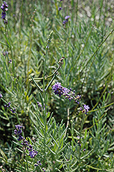Sharon Roberts Lavender (Lavandula angustifolia 'Sharon Roberts') at Alsip Home and Nursery