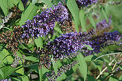 Border Beauty Butterfly Bush (Buddleia davidii 'Border Beauty') at Alsip Home and Nursery