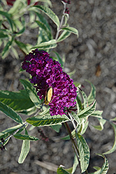 Empire Blue Butterfly Bush (Buddleia davidii 'Empire Blue') at Alsip Home and Nursery