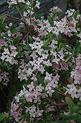 Burkwood Daphne (Daphne x burkwoodii) at Alsip Home and Nursery