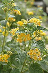 Sunburst Lantana (Lantana 'Sunburst') at Alsip Home and Nursery