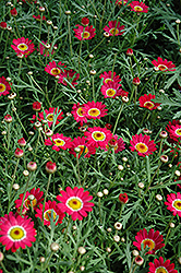Madeira Cherry Red Marguerite Daisy (Argyranthemum frutescens 'Madeira Cherry Red') at Alsip Home and Nursery