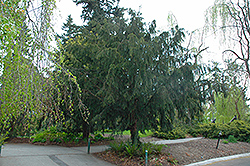 Dovaston Yew (Taxus baccata 'Dovastoniana') at Alsip Home and Nursery