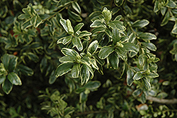 Marginata Boxwood (Buxus sempervirens 'Marginata') at Alsip Home and Nursery