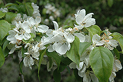 Snowcloud Flowering Crab (Malus 'Snowcloud') at Alsip Home and Nursery