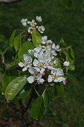 Red Morettini Pear (Pyrus communis 'Red Morettini') at Alsip Home and Nursery