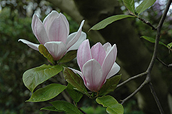 Verbanica Saucer Magnolia (Magnolia x soulangeana 'Verbanica') at Alsip Home and Nursery